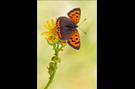 Kleiner Feuerfalter 06 (Lycaena phlaeas)