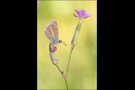 Weißdolch-Bläuling 03 (Polyommatus damon)