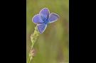 Hauhechel-Bläuling 18 (Polyommatus icarus)