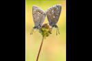 Hauhechel-Bläuling 19 (Polyommatus icarus)