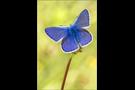 Hauhechel-Bläuling 20 (Polyommatus icarus)