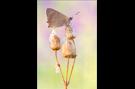 Kleiner Feuerfalter 07 (Lycaena phlaeas)