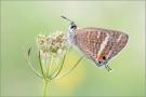 Großer Wanderbläuling 01 (Lampides boeticus)