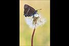 Kreuzdorn-Zipfelfalter 05 (Satyrium spini)