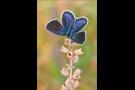 Kronwicken-Bläuling (Plebejus argyrognomon) 06