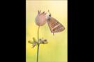 Großer Wanderbläuling (Lampides boeticus) 05