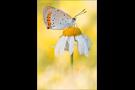 Großer Feuerfalter (Lycaena dispar) 04