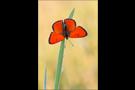 Großer Feuerfalter (Lycaena dispar) 02