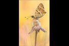 Brauner Feuerfalter (Lycaena tityrus) 05