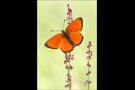 Dukatenfalter (Lycaena virgaureae) 05