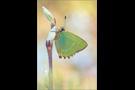 Grüner Zipfelfalter (Callophrys rubi) 03