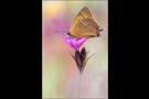 Nierenfleck-Zipfelfalter 01 (Thecla betulae)