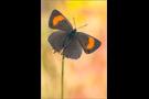 Nierenfleck-Zipfelfalter 03 (Thecla betulae)