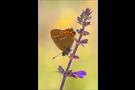 Pflaumen-Zipfelfalter 03 (Satyrium pruni)