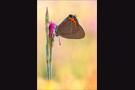Pflaumen-Zipfelfalter (Satyrium pruni) 10