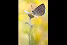 Hochmoor-Bläuling (Plebejus optilete) 01