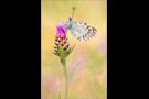 Silbergrüner Bläuling 08 (Polyommatus coridon)