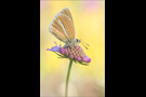 Weißdolch Bläuling (Polyommatus damon) 05