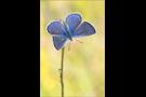 Escher-Bläuling 03 (Polyommatus escheri)