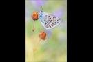 Escher-Bläuling 02 (Polyommatus escheri)