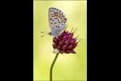 Quendel-Bläuling 01 (Pseudophilotes baton)