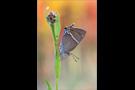 Kreuzdorn-Zipfelfalter (Satyrium spini) 06