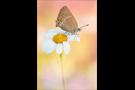 Kleiner Schlehenzipfelfalter (Satyrium acaciae) 06
