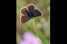 Kleiner Sonnenröschen-Bläuling 05 (Aricia agestis)