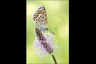 Spanischer Bläuling 01 (Polyommatus pylaon ssp. trappi)