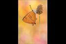 Nierenfleck-Zipfelfalter 02 (Thecla betulae)