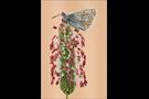 Hauhechel-Bläuling 21 (Polyommatus icarus)