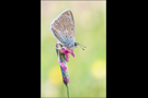 Zahnflügel-Bläuling 01 (Polyommatus daphnis)