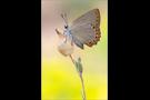 Spanischer Blauer Zipfelfalter (Laeosopis roboris) 05