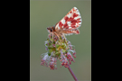 Roter Würfel-Dickkopffalter 01 (Spialia sertorius)