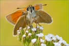 Braunkolbige-Braunr-Dickkopffalter 01 (Thymelicus sylvestris)