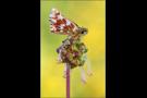 Roter Würfel-Dickkopffalter 03 (Spialia sertorius)
