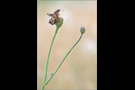 Malven-Dickkopffalter 01 (Carcharodus alceae)