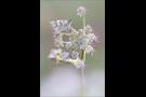 Steppenheiden-Würfel-Dickkopffalter 01 (Pyrgus carthami)