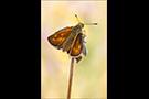 Rostfarbiger Dickkopffalter (Ochlodes sylvanus) 02