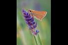 Braunkolbiger-Braun-Dickkopffalter 07 (Thymelicus sylvestris)