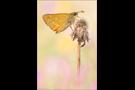 Rostfarbiger Dickkopffalter (Ochlodes sylvanus) 01