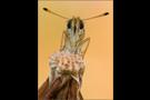 Schwarzkolbiger Braun-Dickkopffalter 01 (Thymelicus lineola)