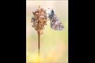 Südöstlicher Roter Würfel-Dickkopffalter (Spialia orbifer) 02