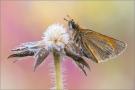 Braunkolbiger-Braun-Dickkopffalter 09 (Thymelicus sylvestris)