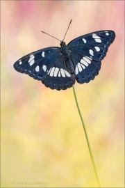 Blauschwarzer Eisvogel (Limenitis reducta) 05
