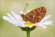 Silberfleck Perlmutterfalter (Boloria euphrosyne) 03