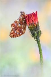 Hochalpen Permuttfalter (Boloria pales) 12