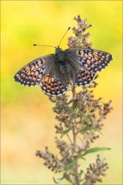 Alpenmatten-Perlmutterfalter (Boloria pales) 11