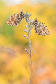 Alpenmatten-Perlmutterfalter (Boloria pales) 10