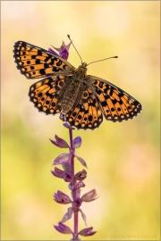 Sumpfwiesen-Perlmuttfalter (Boloria selene) 12